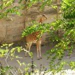 Quoi faire près de Thouarcé : visiter le zoo de Doué
